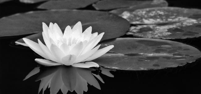 lasya-lotus-flower